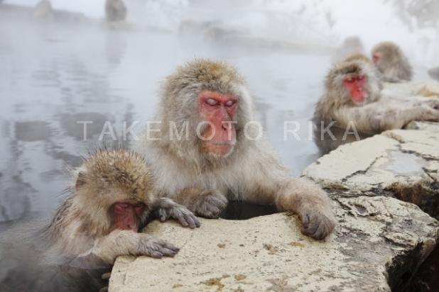 地獄谷の日本猿